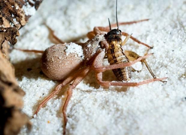 ТЕРЕМОК. Шестиглазый песочный паук