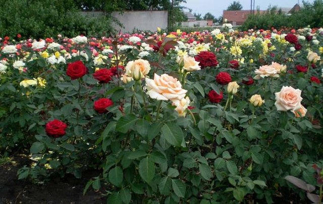 Методы размножения роз