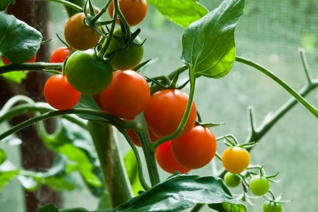 Почему осыпается завязь на томатах