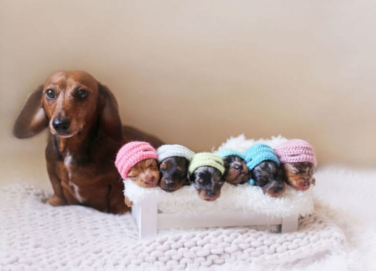 Такса позирует для фотокамеры вместе со своими новорожденными щенками