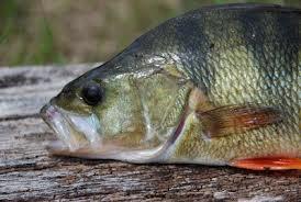 окунь ядовитые рыбы