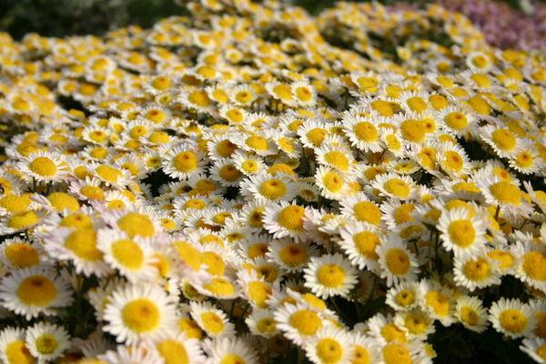 Хризантема сорт Русское Поле