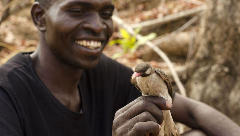 Маленькие африканские птицы помогают охотникам в поиске мёда
