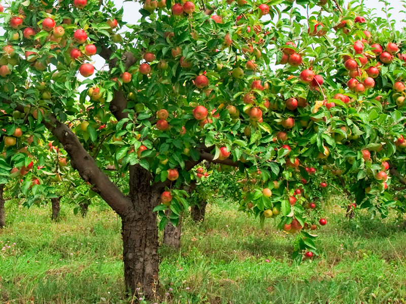 Чтобы яблоня не старела