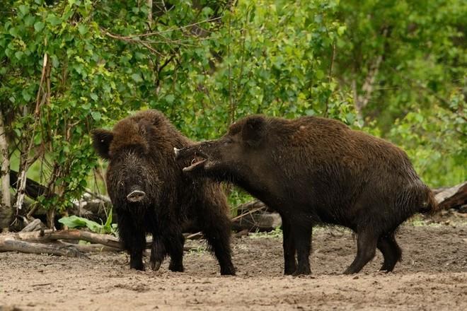 У охотников Приамурья возник ажиотажный спрос на кабана