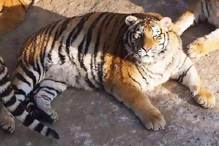 В китайском природном парке живут «самые толстые тигры на свете»