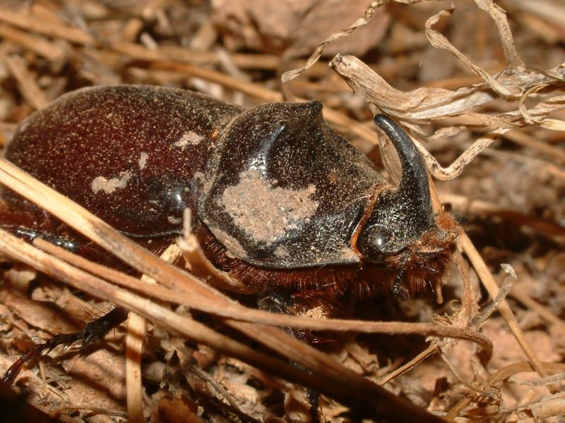 Удивительное создание природы - жук носорог