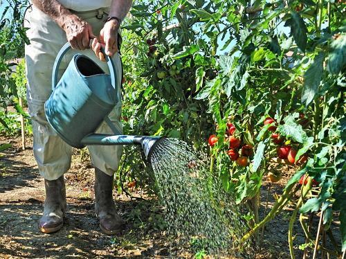 Золотые правила полива и подкормки томатов