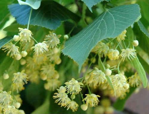 Липа - незаменима в нашей жизни. В липе полезно все - древесина, луб, листья, почки, цвет липы...