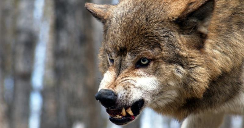 Волчий угол. В Республике Коми хищники устроили людям террор
