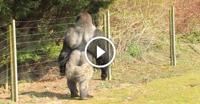Тысячи туристов приезжают посмотреть на эту гориллу...