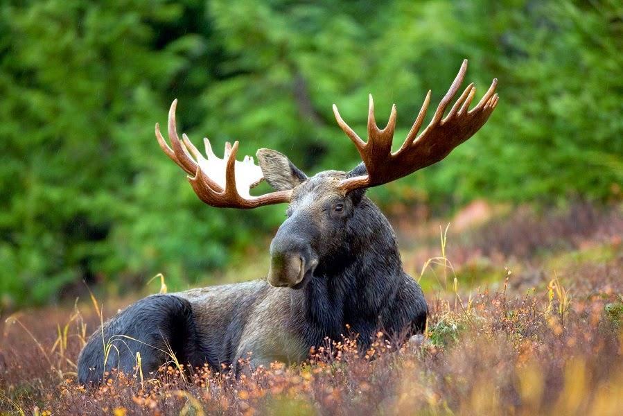 Однажды в лесу лось попросил…
