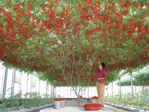 Посадить бы такую помидорку!