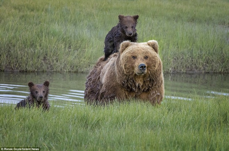 Как мама-медведица перенесла…
