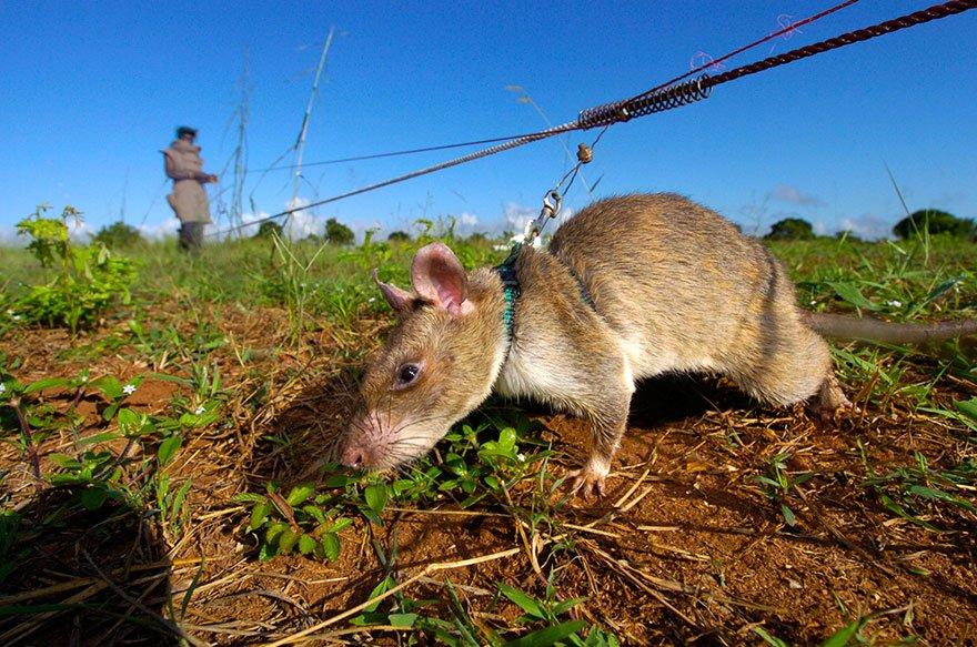 Крысы-герои