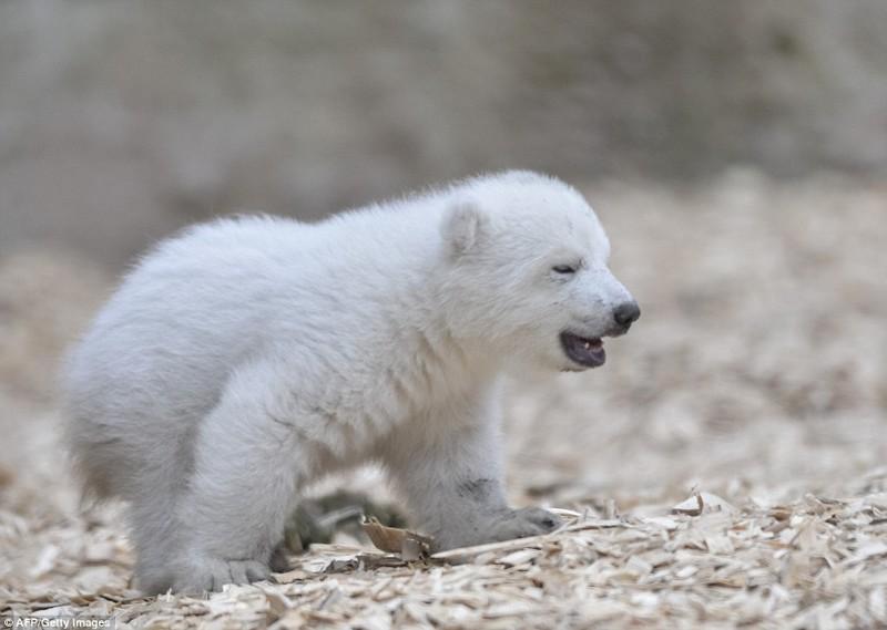 Белый медвежонок в зоопарке Мюнхена делает первые шаги белый медведь, детеныши, животные, мимими