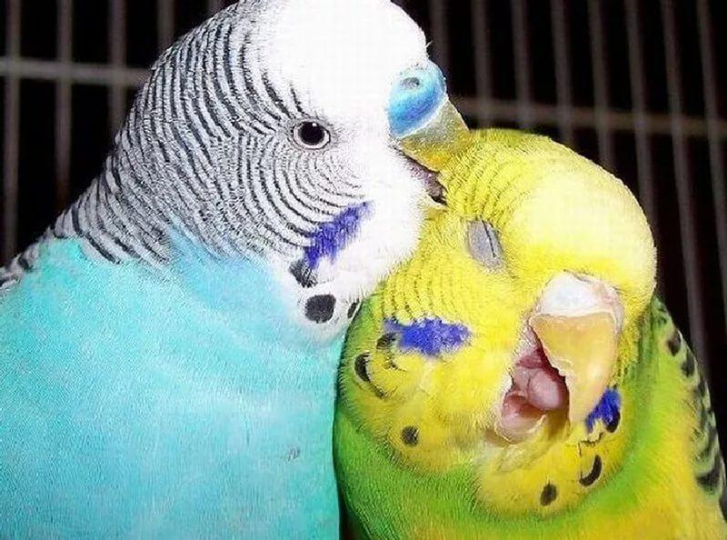 """Попугаи передают сородичам хорошее настроение через """"заразительный смех"""""""