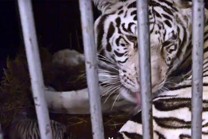 Дрессировщики сняли на видео момент рождения редчайших белых тигрят