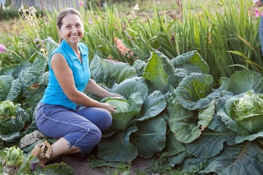 Пришла пора приобретать семена капусты на рассаду. Какие сорта выбрать?