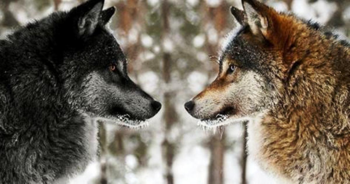 Притча про двух волков. Вы прочитаете ее за 20 секунд, а будете помнить вечно!