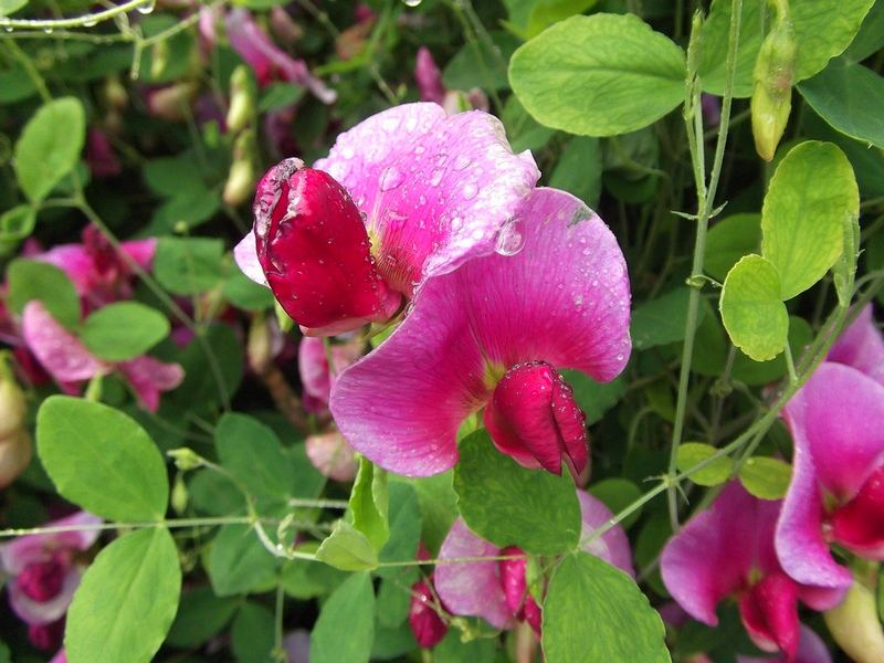 Розовый цвет душистого горошка