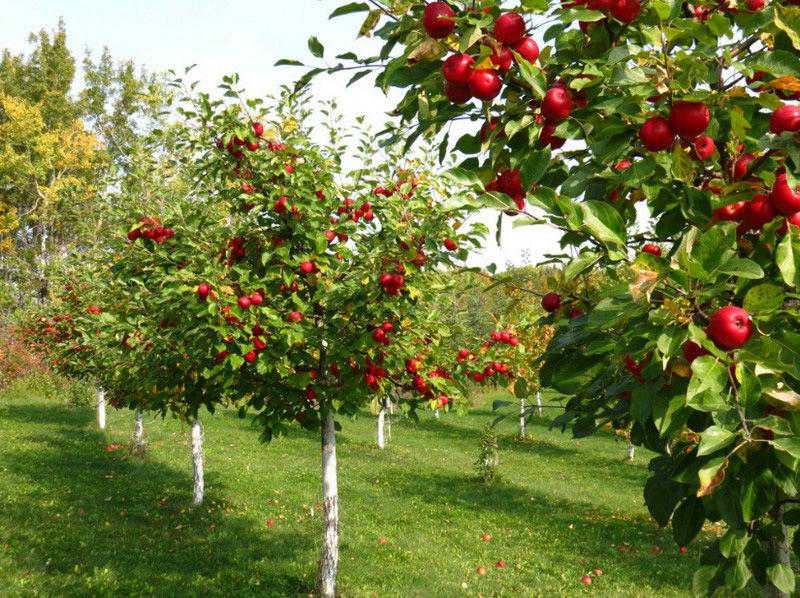 В саду большой урожай? Срочно спасайте деревья!