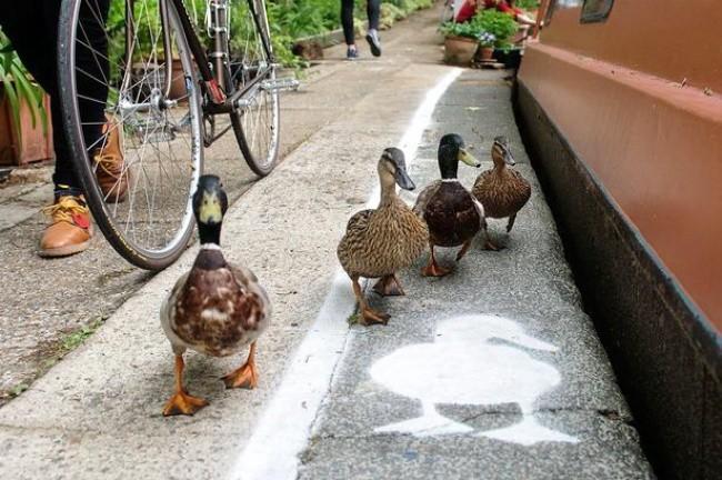 Пешеходные дорожки для уток, Великобритания доброта, животные, мир