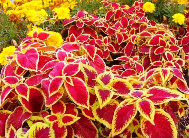 Двух цветные цветы колеусы на балконе
