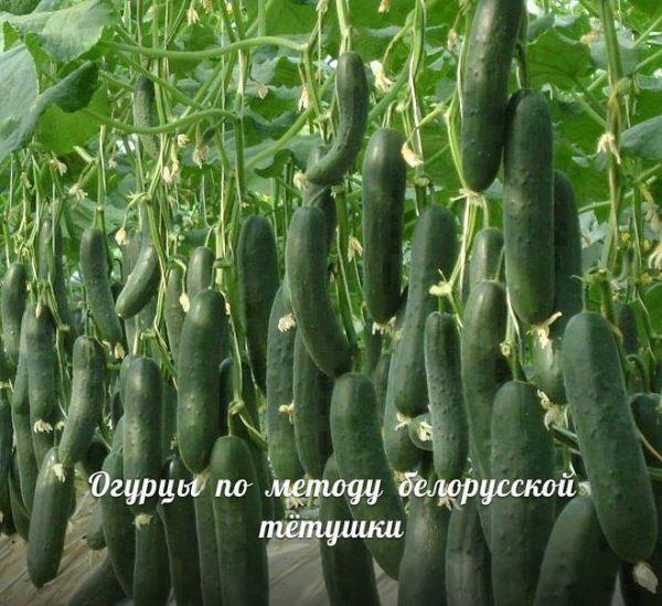 Сажаю огурцы по методу белорусской тётушки. Урожай просто класс