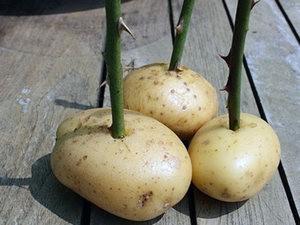 В картошке