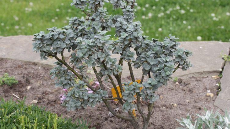 Какие деревья посадить на даче? Ива карликовая