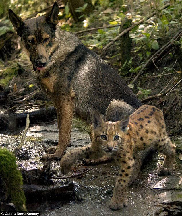 Необычные друзья - рысята и немецкая овчарка
