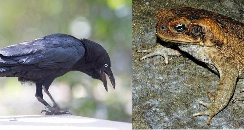 Вороны научились безопасному способу поедания ядовитых жаб