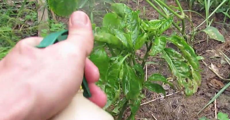 9 резонных причин нестандартно использовать перекись водорода в саду
