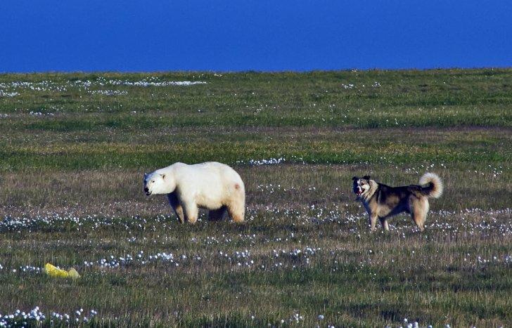 Боцман против белых медведей. Дворняга установила свои законы в Арктике (видео)
