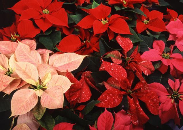 Прекрасные и ужасные! 13 смертельно опасных цветов и кустарников
