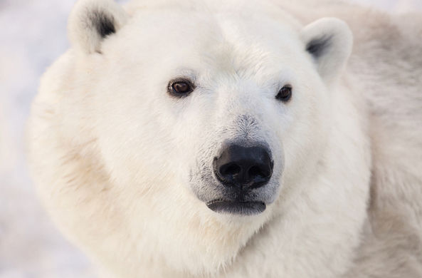 На окраине Норильска встретили белого медведя