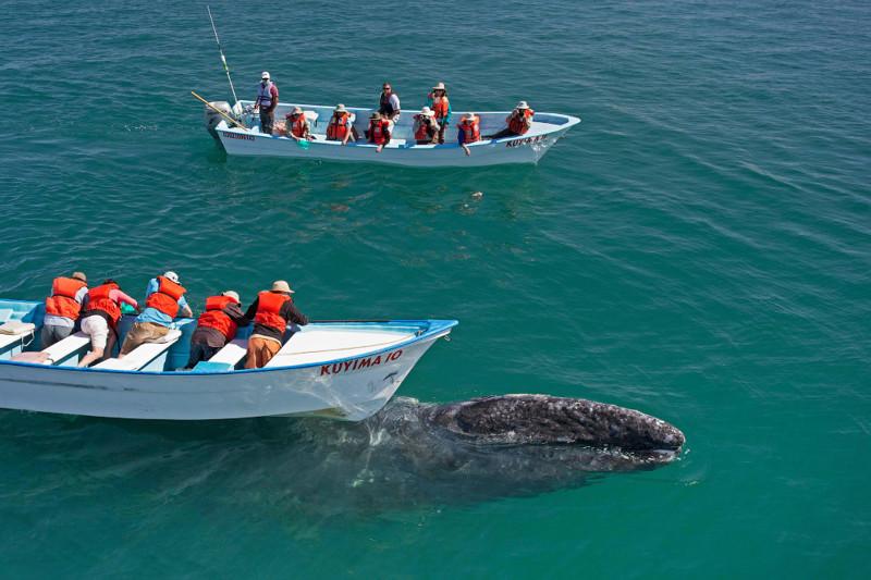 Ласковый серый кит встреча, кит, серый кит, тихий океан
