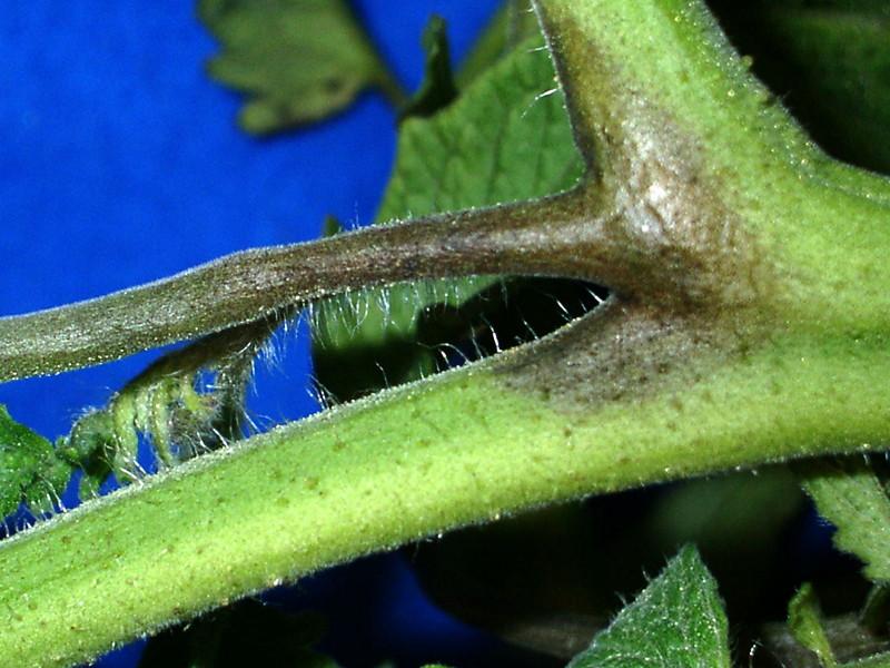 Старый метод подкормки растений и профилактика фитофторы!