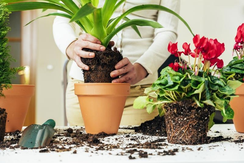 пересадка больших комнатных растений