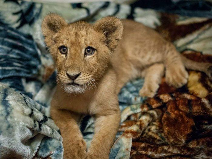 Львёнок, которого спасли не может спать без одеяла