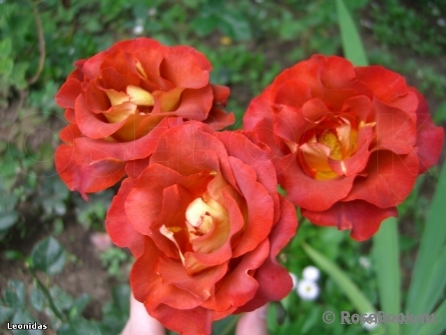 http://www.rosebook.ru/components/articles/images/bb/original/526-180-6.jpg
