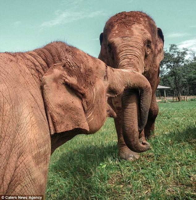Слоны, которые были в рабстве почти 80 лет, освобождены!