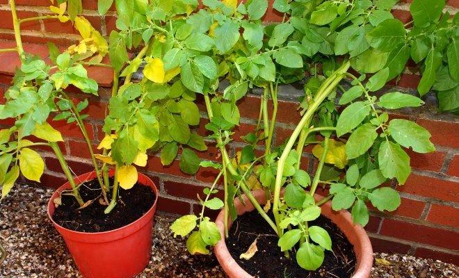 Почему желтеют листья картофеля и что делать в такой ситуации?