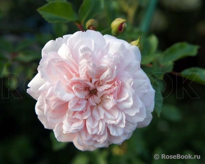 http://www.rosebook.ru/components/articles/images/bb/original/526-180-22.jpg