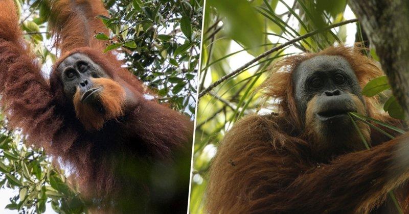 В Индонезии обнаружен новый вид орангутанов