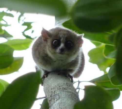 В ангольских лесах обнаружили новый вид приматов