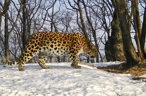 На Дальнем Востоке замечен «воскресший» леопард