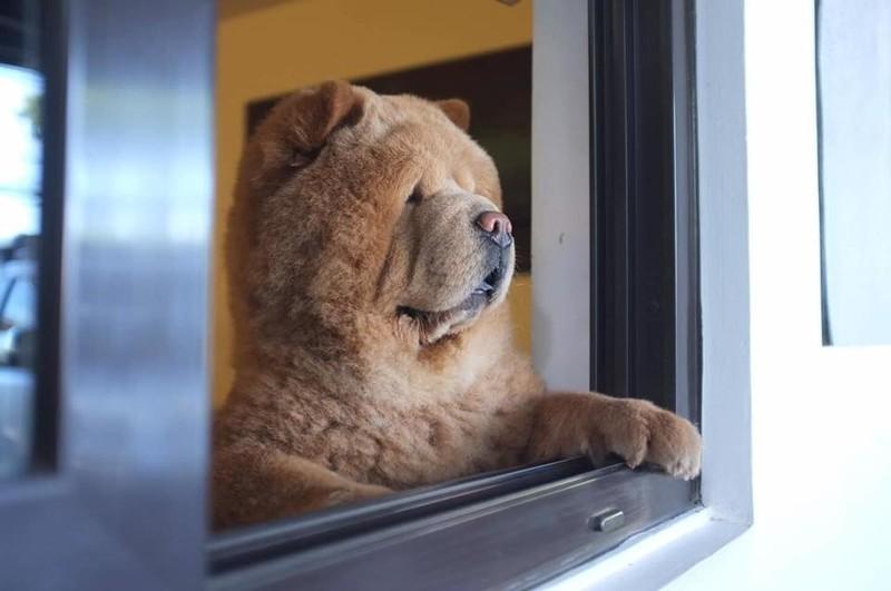 Чаудер очень внимателен к близким, всегда следит за их безопасностью Instagram, животные, медведь, пес, соцсеть, сходство, филиппины, чау-чау