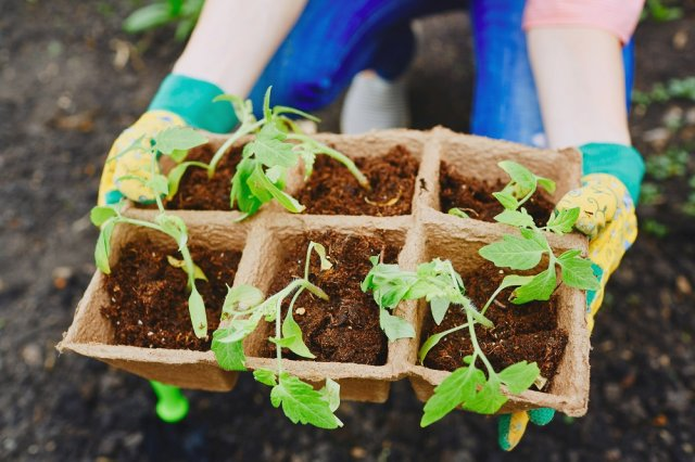 Как ухаживать за рассадой помидоров в теплице после высадки